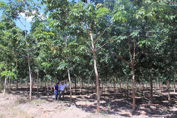 Một vườn cao su tại nông trường của Công ty Cổ phần Hoàng Anh Đắk Lắk.