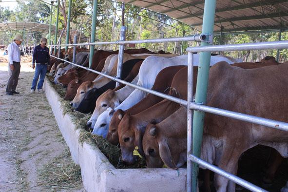 Trang trại chăn nuôi bò sinh sản tại Công ty  Cổ phần Hoàng Anh Đắk Lắk.