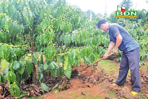 Nông dân tập trung chăm sóc cà phê sau thu hoạch - Daklak24h